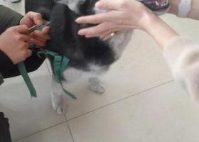 寻狗启示,寻找哈士奇18020095686,它是一只非常可爱的宠物狗狗,希望它早日回家,不要变成流浪狗。