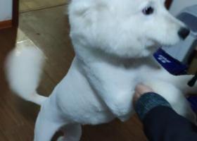 寻狗启示,4月22号晚上,在滨湖区海岸城附近的金匮公园走失一条萨摩耶母狗,,它是一只非常可爱的宠物狗狗,希望它早日回家,不要变成流浪狗。