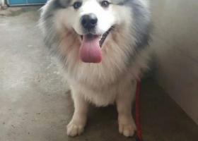寻狗启示,渝中区李子坝走丢,阿拉斯加,它是一只非常可爱的宠物狗狗,希望它早日回家,不要变成流浪狗。