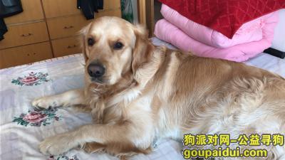 威海丢狗,荣成市新庄附近丢失一条金毛犬,它是一只非常可爱的宠物狗狗,希望它早日回家,不要变成流浪狗。