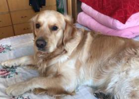 寻狗启示,荣成市新庄附近丢失一条金毛犬,它是一只非常可爱的宠物狗狗,希望它早日回家,不要变成流浪狗。