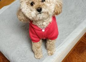 寻狗启示,寻狗启示   寻找香槟色泰迪_杰森,它是一只非常可爱的宠物狗狗,希望它早日回家,不要变成流浪狗。