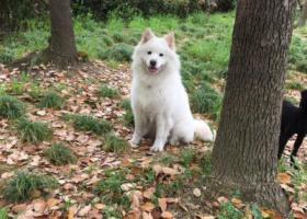 寻狗启示,无锡滨湖东降丢失一只萨摩耶,它是一只非常可爱的宠物狗狗,希望它早日回家,不要变成流浪狗。