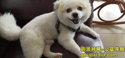 ,2019年4月26日于三亚市团结路农业银行丢失一只白色博美,它是一只非常可爱的宠物狗狗,希望它早日回家,不要变成流浪狗。