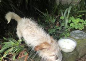 寻狗启示,重庆第二师范学院学府校区发现一只流浪狗,它是一只非常可爱的宠物狗狗,希望它早日回家,不要变成流浪狗。