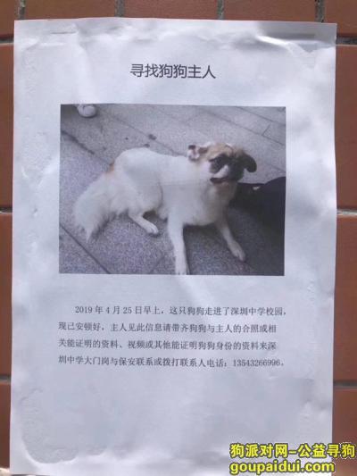 深圳寻狗主人,深圳中学捡到狗寻主人,它是一只非常可爱的宠物狗狗,希望它早日回家,不要变成流浪狗。