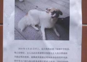 寻狗启示,深圳中学捡到狗寻主人,它是一只非常可爱的宠物狗狗,希望它早日回家,不要变成流浪狗。