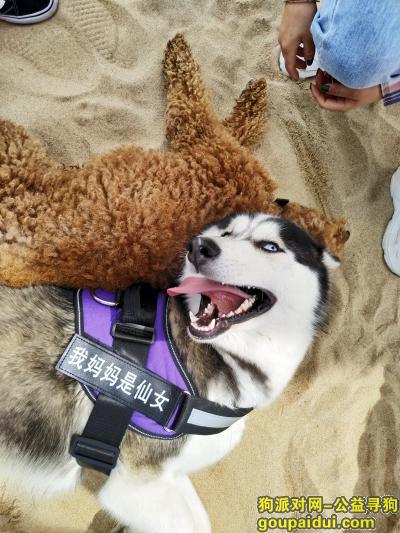 威海寻狗,寻狗启示!!!哈士奇,它是一只非常可爱的宠物狗狗,希望它早日回家,不要变成流浪狗。