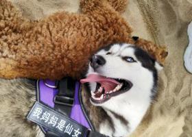寻狗启示,寻狗启示!!!哈士奇,它是一只非常可爱的宠物狗狗,希望它早日回家,不要变成流浪狗。