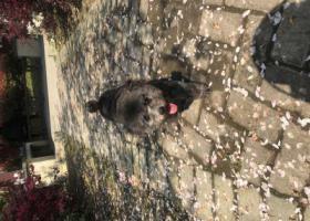 寻狗启示,八个月大灰色泰迪,它是一只非常可爱的宠物狗狗,希望它早日回家,不要变成流浪狗。