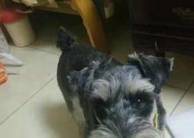 寻狗启示,找寻2岁半雪纳瑞公 体重在17斤左右 很听话。不爱叫,它是一只非常可爱的宠物狗狗,希望它早日回家,不要变成流浪狗。