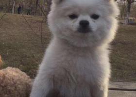 寻狗启示,太原找狗 白色博美男不到一岁腹部黑斑,它是一只非常可爱的宠物狗狗,希望它早日回家,不要变成流浪狗。