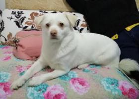 寻狗启示,天津找狗  肚子下有个大包女孩  骗子勿扰!,它是一只非常可爱的宠物狗狗,希望它早日回家,不要变成流浪狗。