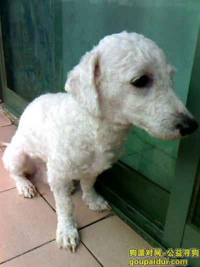 资阳寻狗启示,比熊串串有人看到么?,它是一只非常可爱的宠物狗狗,希望它早日回家,不要变成流浪狗。