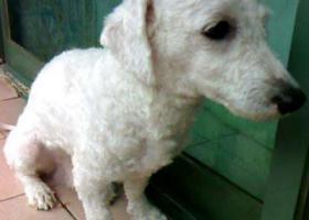 寻狗启示,比熊串串有人看到么?,它是一只非常可爱的宠物狗狗,希望它早日回家,不要变成流浪狗。
