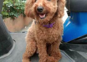 寻狗启示,寻找一只棕色母贵宾犬,它是一只非常可爱的宠物狗狗,希望它早日回家,不要变成流浪狗。