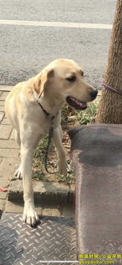 马鞍山寻狗启示,当涂寻狗成年拉布拉多,它是一只非常可爱的宠物狗狗,希望它早日回家,不要变成流浪狗。