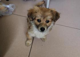 寻狗启示,小狗4-5个月大,应该是和主人不慎走丢,它是一只非常可爱的宠物狗狗,希望它早日回家,不要变成流浪狗。