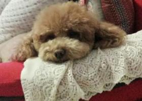 寻狗启示,寻找爱犬豆豆,希望有心人看到后联系我,它是一只非常可爱的宠物狗狗,希望它早日回家,不要变成流浪狗。