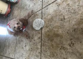 寻狗启示,在白浪河湿地公园走丢泰迪一只,它是一只非常可爱的宠物狗狗,希望它早日回家,不要变成流浪狗。