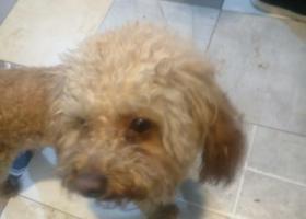 寻狗启示,谁的泰迪走丢了!!?,它是一只非常可爱的宠物狗狗,希望它早日回家,不要变成流浪狗。