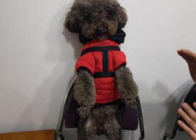 寻狗启示,有偿找泰迪狗,必当面酬谢。,它是一只非常可爱的宠物狗狗,希望它早日回家,不要变成流浪狗。