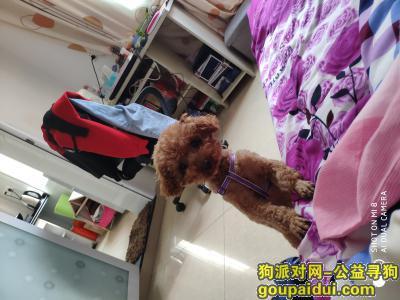 巢湖寻狗启示,丢失一只棕色泰迪小狗,它是一只非常可爱的宠物狗狗,希望它早日回家,不要变成流浪狗。