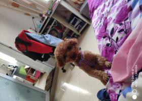 寻狗启示,丢失一只棕色泰迪小狗,它是一只非常可爱的宠物狗狗,希望它早日回家,不要变成流浪狗。