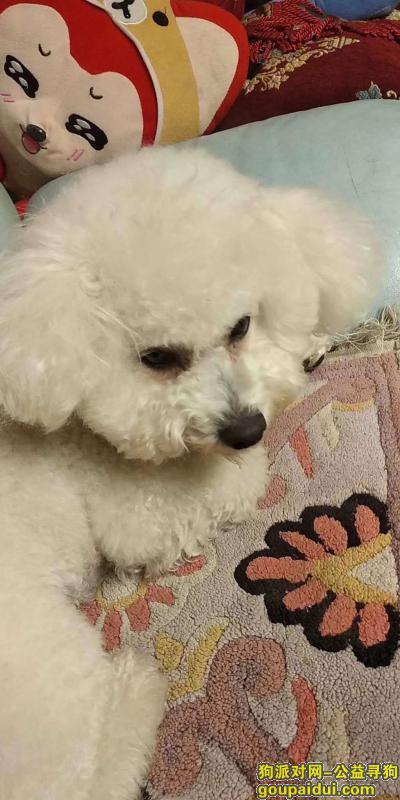 新乡丢狗,上午11点在文化桥丢失,它是一只非常可爱的宠物狗狗,希望它早日回家,不要变成流浪狗。