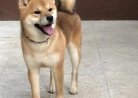 寻狗启示,天津 南开区广开二马路酬谢五千元寻找柴犬,它是一只非常可爱的宠物狗狗,希望它早日回家,不要变成流浪狗。
