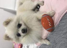 寻狗启示,急寻白色博美二狗子,当面重谢,它是一只非常可爱的宠物狗狗,希望它早日回家,不要变成流浪狗。