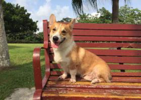 寻狗启示,重酬寻狗(柯基犬 公),它是一只非常可爱的宠物狗狗,希望它早日回家,不要变成流浪狗。