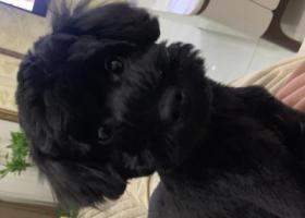 寻狗启示,全网急切寻找黑色泰迪犬,它是一只非常可爱的宠物狗狗,希望它早日回家,不要变成流浪狗。
