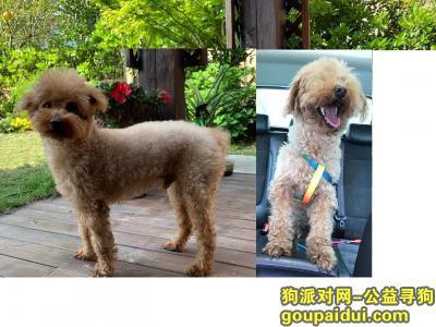 嘉兴找狗,寻找泰迪小狗:公,无尾巴,带彩色项圈,它是一只非常可爱的宠物狗狗,希望它早日回家,不要变成流浪狗。