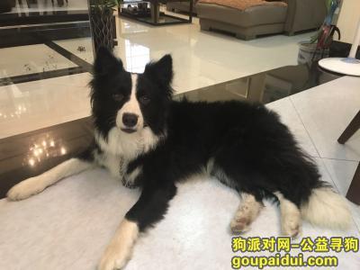寻狗启示,广州白云区新市边牧寻主人,它是一只非常可爱的宠物狗狗,希望它早日回家,不要变成流浪狗。