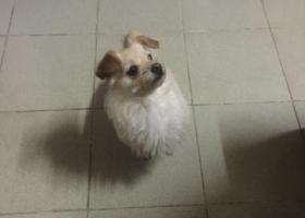 寻狗启示,布丁 母的 中华田园犬 !!!,它是一只非常可爱的宠物狗狗,希望它早日回家,不要变成流浪狗。