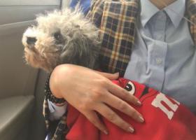 寻狗启示,汉台区中山街附近丢失一只灰色泰迪右腿畸形,身穿红色M豆衣服,它是一只非常可爱的宠物狗狗,希望它早日回家,不要变成流浪狗。