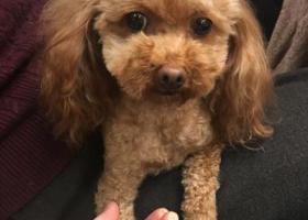 寻狗启示,寻找5岁咖啡色泰迪,5月8日晚都宝花园附近走失,它是一只非常可爱的宠物狗狗,希望它早日回家,不要变成流浪狗。