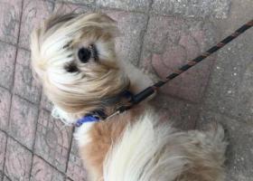 寻狗启示,2019年1月下旬在济宁人民公园粉莲街马驿桥小区丢失6岁母西施狗,希望好心人士找到寻到狗以2000元作为答谢!,它是一只非常可爱的宠物狗狗,希望它早日回家,不要变成流浪狗。