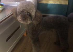 寻狗启示,重庆沙坪坝区大学城丢失咖啡色泰迪狗,它是一只非常可爱的宠物狗狗,希望它早日回家,不要变成流浪狗。