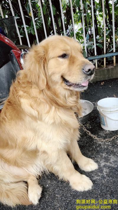 吉安丢狗,请帮忙寻找狗狗金毛必将重谢,它是一只非常可爱的宠物狗狗,希望它早日回家,不要变成流浪狗。