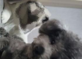 寻狗启示,寻找丢失的灰色泰迪,希望好心人捡到与我联系,它是一只非常可爱的宠物狗狗,希望它早日回家,不要变成流浪狗。