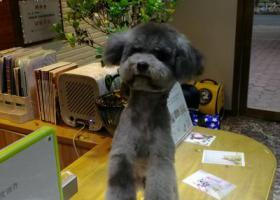 寻狗启示,寻找走丢的灰色泰迪,希望有捡到或者有看到的提供线索,它是一只非常可爱的宠物狗狗,希望它早日回家,不要变成流浪狗。