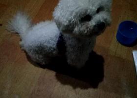 寻狗启示,江宁区陶吴镇附近捡到一只比熊,它是一只非常可爱的宠物狗狗,希望它早日回家,不要变成流浪狗。