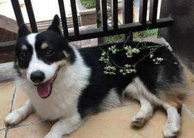 寻狗启示,寻柯基 两岁 黑色 寻到酬谢3000,它是一只非常可爱的宠物狗狗,希望它早日回家,不要变成流浪狗。