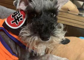 寻狗启示,重庆市渝中区观音岩车站沁园旁丢失一直雪纳瑞,它是一只非常可爱的宠物狗狗,希望它早日回家,不要变成流浪狗。