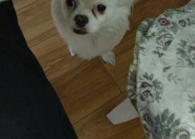 求助  新曹路公园世家丢失小白狗一只,求好心人提供帮助