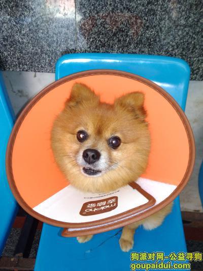 安庆寻狗,寻找爱犬——黄色小型博美,它是一只非常可爱的宠物狗狗,希望它早日回家,不要变成流浪狗。