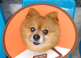 寻狗启示,寻找爱犬——黄色小型博美,它是一只非常可爱的宠物狗狗,希望它早日回家,不要变成流浪狗。