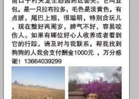 寻找两岁黄色拉布拉多狗,5月11日丢失